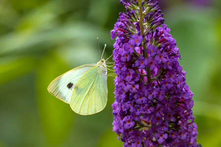Closeup side view of a Pieris brassicae, the large white or cabbage butterfly pollinating on a flower. 免版税图像