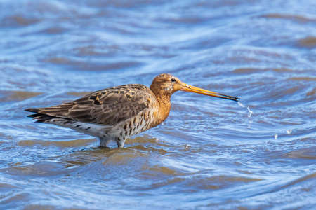 A black-tailed godwit Limosa Limosa wader bird just returned this season calling, shouting and foraging in blue water. Most of the European population wide in the Netherlands. 免版税图像