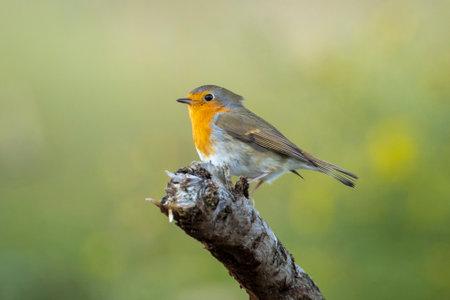 European robin Erithacus rubecula perched on a branch during Autumn season 免版税图像