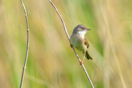 Closeup of a Whitethroat bird, Sylvia communis, foraging in a green meadow 免版税图像