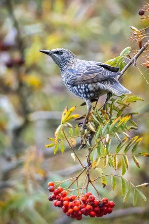 Common starling bird Sturnus vulgaris eating berries fruit during Autumn season