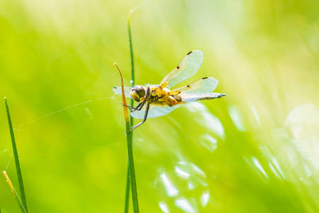 Close-up of a four-spotted chaser, Libellula quadrimaculata, or four-spotted skimmer dragonfly resting in sunlight on green already. 免版税图像
