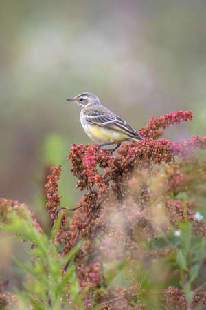 Closeup of a male western yellow wagtail bird Motacilla flava singing in vegetation on a sunny day during spring season. 免版税图像