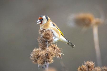 European goldfinch bird, Carduelis carduelis, perched, eating and feeding seeds during Springtime season