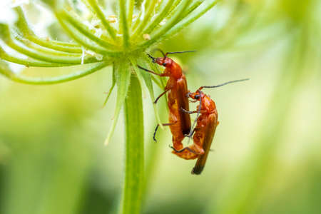 Two common red soldier beetle, Rhagonycha fulva, mating in grass.