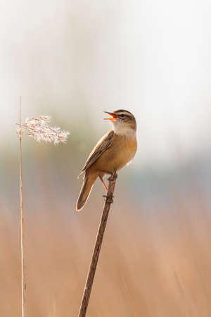 Closeup of a Sedge Warbler bird, Acrocephalus schoenobaenus, singing to attract a female during breeding season in Springtime Stock fotó