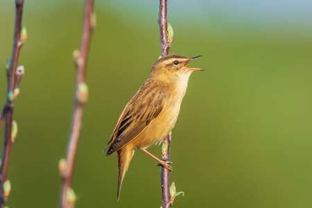 Closeup of a Sedge Warbler bird, Acrocephalus schoenobaenus, singing to attract a female during breeding season in Springtime