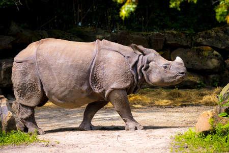 Indian rhinoceros, Rhinoceros unicornis, walking in a forest