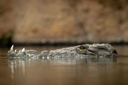 Nile crocodile Crocodylus niloticus lying in ambush