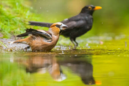 Closeup of a wet hawfinch male Coccothraustes coccothraustes and blackbird, Turdus merula, washing, preening and cleaning in water. Selective focus and low poit of view