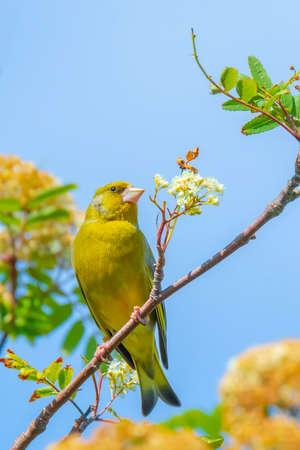 Colorful greenfinch bird Chloris chloris singing in Springtime
