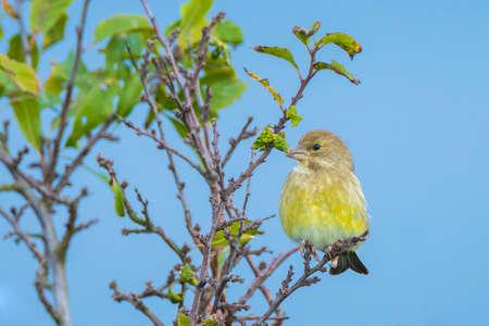 Colorful female greenfinch bird Chloris chloris singing in Springtime