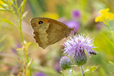 Side view wings close up of a Meadow Brown butterfly, Maniola jurtina, feeding on a purple Thistle flower
