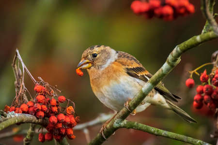 Closeup of a brambling bird, Fringilla montifringilla, in winter plumage feeding orange berries of Sorbus aucuparia, also called rowan and mountain-ash in a forest during Autumn season