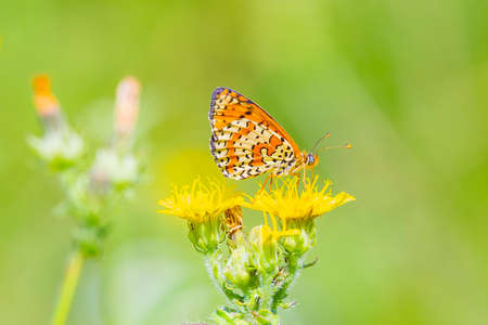 Melitaea didyma, red-band fritillary or spotted fritillary butterfly feeding on flowers in a colorful green meadow 免版税图像