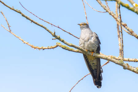 Common cuckoo, Cuculus canorus, resting and singing in a tree. It is a brood parasite, which means it lays eggs in the nests of other bird species, dunnocks, meadow pipits, and reed warblers 免版税图像