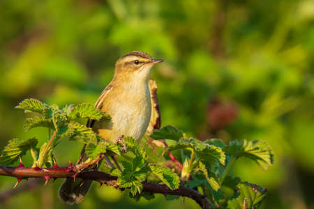 Closeup of a Sedge Warbler bird, Acrocephalus schoenobaenus, singing to attract a female during breeding season in Springtime. Perched in a green brambling bush.