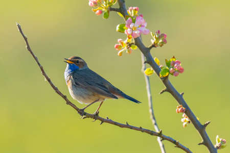 A blue-throat bird male Luscinia svecica cyanecula singing to attract a female during breeding season in Springtime