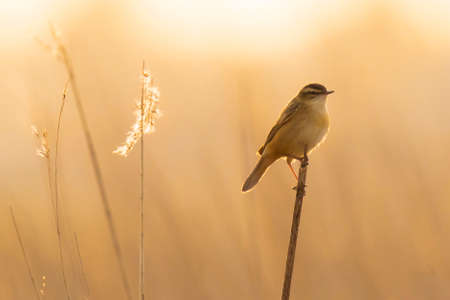 Closeup of a Sedge Warbler bird, Acrocephalus schoenobaenus, singing to attract a female during breeding season in Springtime sunset