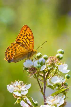Closeup of a Silver-washed fritillary female butterfly, Argynnis paphia ,. This specie extinct in Holland but is making a comeback the last years due to climate change. 免版税图像