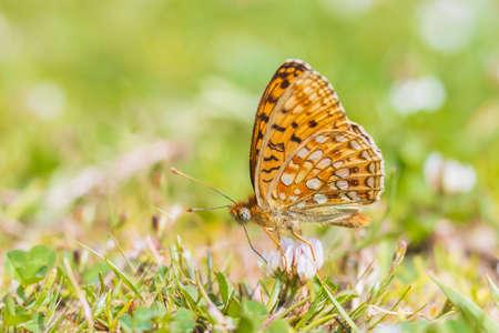Niobe fritillary, Fabriciana niobe, butterfly resting in a meadow. Coastal dunes landscape, daytime bright sunlight. 免版税图像