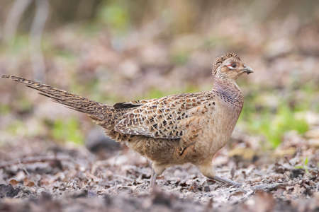 Female Pheasant Phasianus colchicus scavenging on the forest floor