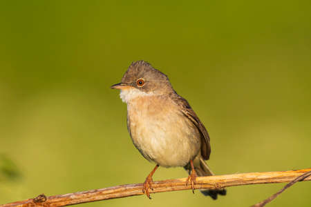 Closeup of a Whitethroat bird, Sylvia communis, foraging in a green meadow 免版税图像