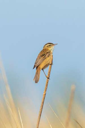 Eurasian warbler Acrocephalus scirpaceus bird singing in already rode during sunrise. Springtime season