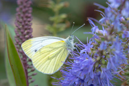 Green-veined white butterfly, Pieris napi, resting in a meadow pollinating a purple flower