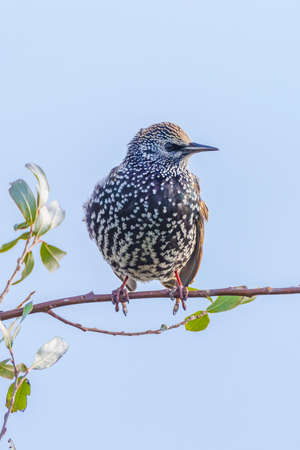 Male common starling bird Sturnus vulgaris with beautiful plumage perched at eraly morning sunrise. 免版税图像