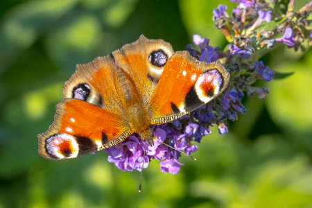 Aglais io, peacock butterfly, feeding nectar from a purple butterfly-bush in garden. Bright sunlight, vibrant colors. 免版税图像