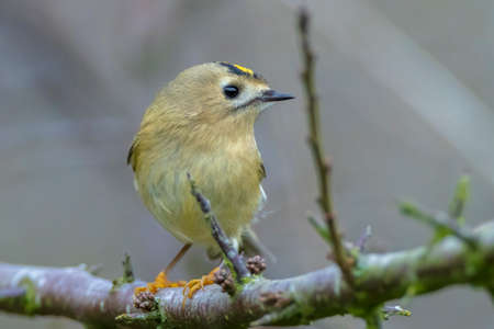 Closeup of a Goldcrest bird, Regulus regulus, foraging through branches of trees and bush 免版税图像