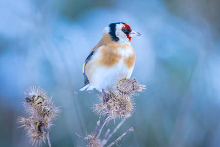 European goldfinch bird, Carduelis carduelis, perched, eating and feeding seeds in snow during Winter season