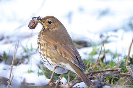 Closeup of a song thrush bird, Turdus philomelos, foraging in snow, beautiful cold Winter setting