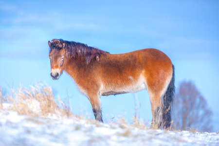 Exmoor pony grazing in snow, cold winter landscape and clear blue sky .. Stock Photo