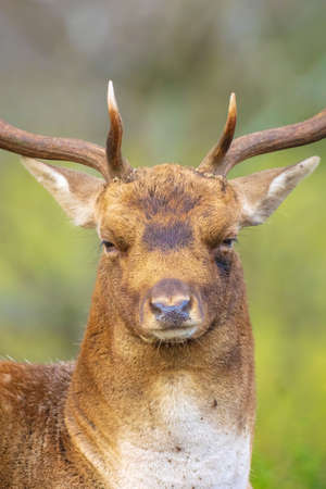 Closeup portrait of a Fallow deer, Dama Dama, male during rutting season. The Autumn sunlight and nature colors are clearly visible on the background. Stock Photo