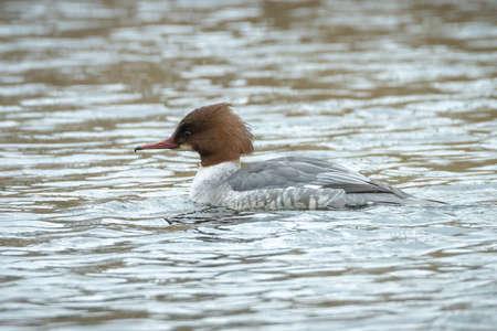 The common merganser or goosander male, Mergus merganser, swimming on the the water surface. Stock Photo