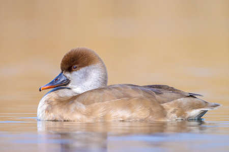 Female red-crested pochard Netta rufina waterfowl swimming in a pond. Colorful and sunny day, low point of view.