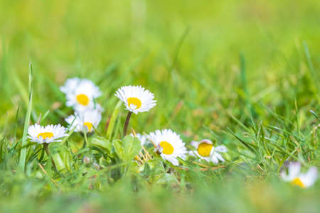 Closeup of Bellis perennis blooming in a meadow during early Springtime season