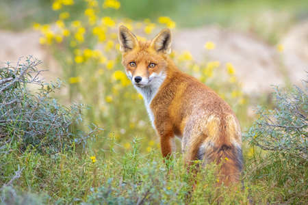 Young Wild red fox, vulpes vulpes, juvenile scavenging