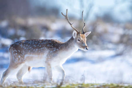 Fallow deer stag Dama Dama foraging in Winter forest snow and ice, selective focus is used.