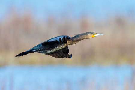 Great Black Cormorant bird, Phalacrocorax carbo, in flight low above the water surface of a lake during daytime Stock Photo