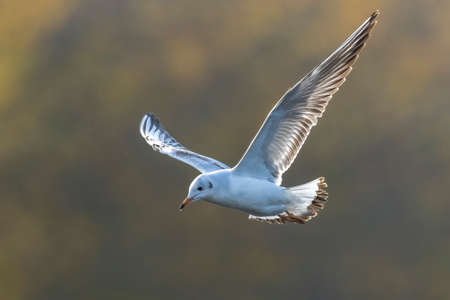 Close-up of a Black-headed gull, Chroicocephalus ridibundus, in-flight