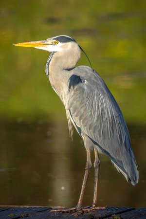 Closeup of a gray heron, Ardea cinerea, fishing on a lake