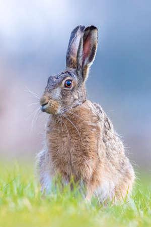 Closeup of a wild European hare, lepus europaeus, sitting in grass during Springtime