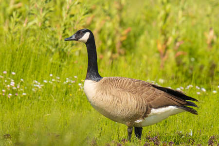 Close-up of a Canada goose Branta canadensis, foraging in a green meadow Stock Photo
