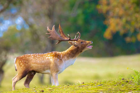 Fallow deer Dama Dama male stag during rutting season. The Autumn sunlight and nature colors are clearly visible on the background.