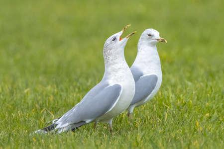 The common gull, mew gull or sea mew, Larus canus in flight Stock Photo