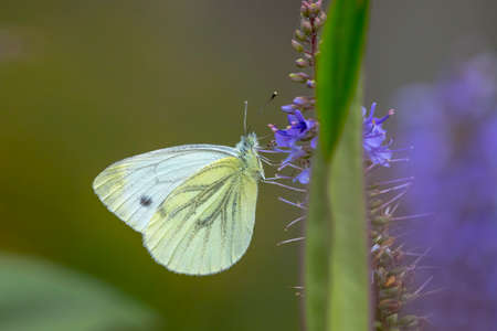 Closeup side view of a Pieris brassicae, the large white or cabbage butterfly pollinating on a flower. Stock Photo