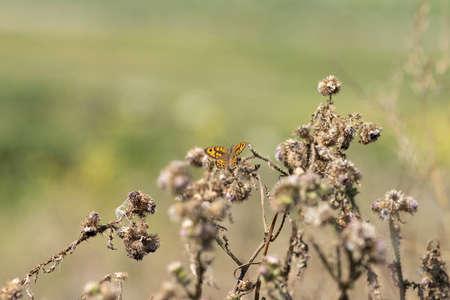 Wall Brown butterfly Lasiommata megera feeding on yellow flowers in a meadow.